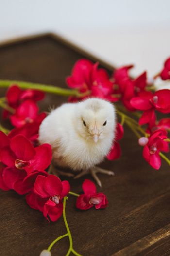 Baby Chicken Flower Animal Animal Themes Flowering Plant Plant No People One Animal Close-up Looking At Camera Portrait Pets Indoors  Vertebrate Mammal Domestic Domestic Animals Red High Angle View Nature Beauty In Nature