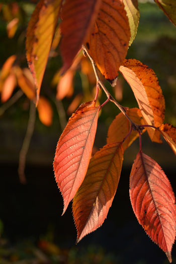 Close-up of orange leaves on tree