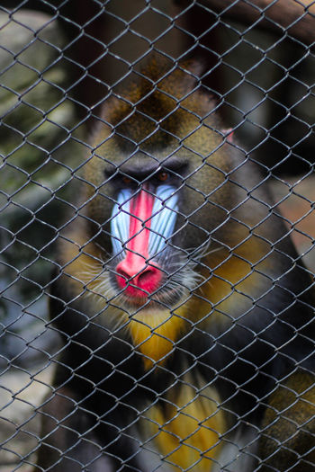 Bird Red Trapped Cage Close-up Animal Crest Japanese Macaque Hot Spring Chainlink Fence
