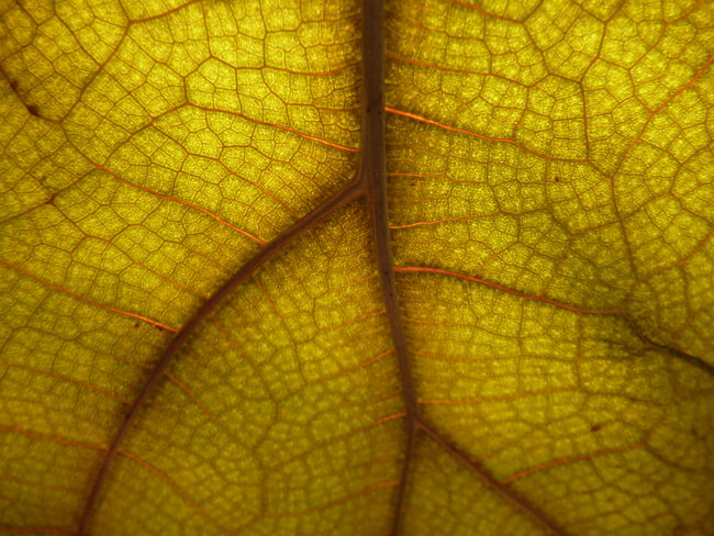 Backgrounds Biology Botanical Botanical Gardens Botany Close-up Full Frame Leaf Nature No People Roadmap Of Life Science Textured  Veins And Arteries Veins In Leaves Veins Of Life