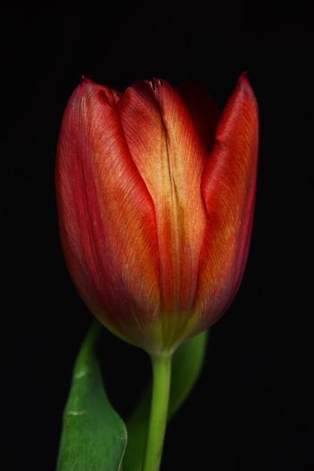 Red and Yellow Tulip ... Tulip Red And Yellow Tulip Red Yellow Flowers Freshness Flower Studio Shot Black Background Fragility Growth Petal Close-up Beauty In Nature Red Flower Head Tulip No People Plant Nature Day