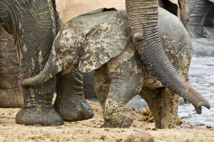 Close-up of elephant calf