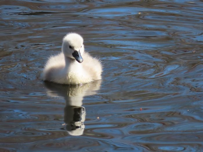 My best photo cygnet cuteness young swan swimming floating on water closeup reflections ripples movement animal themes beauty in nature outdoors One Animal Water Animal Wildlife Bird My Best Photo No People My Best Photo