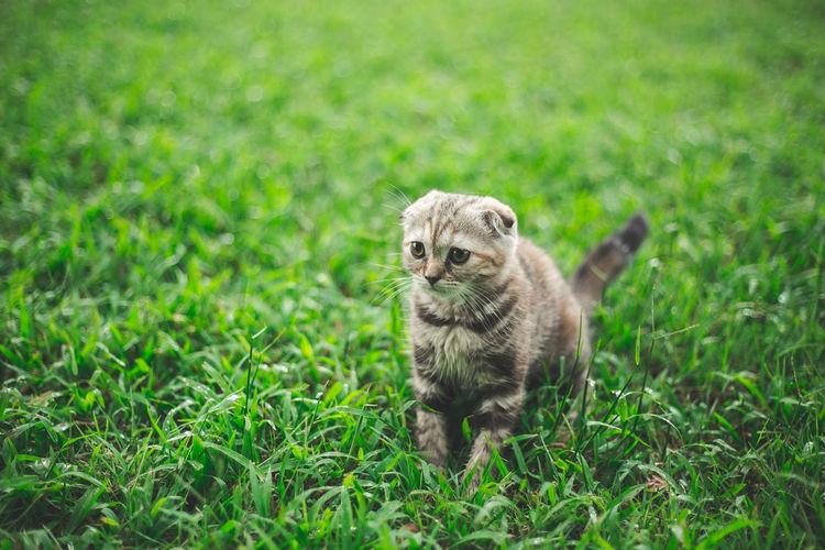 Portrait of meerkat on grass