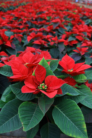 Poinsettia. Field of red Christmas star flowers in greenhouse for sale. Background texture photo of Christmas star flowers, floral pattern Poinsettia, selective focus Christmas Star Christmas Star Flowers Christmas Star Plant Field Green Holidays New Year Poinsetta Flowers Poinsettia Flowers Poinsettia Plants Red Winter Christmas Decoration Christmas Star Flower Joy Poinsettia Poinsettia Flower Poinsettia Variety Poinsettias Sales Shades Of Winter