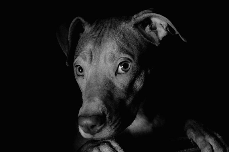 My beautiful Bella Pitbull♥ Dog Pets One Animal Domestic Animals Looking At Camera Black Background Animal Themes Portrait Mammal Animal Head  Close-up No People Indoors