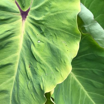 Colocasia Esculenta Colocasia Lime Fizzy Green Color Leaf Plant Part Growth Plant Close-up Full Frame
