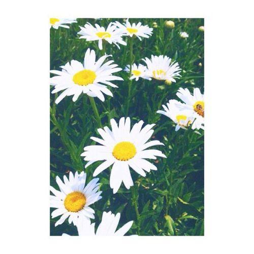 daisies me encantan!