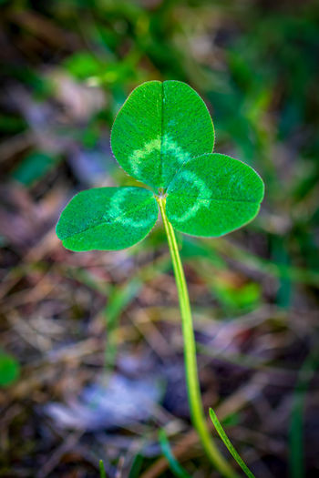 Leaf Plant Part Green Color Plant Growth Close-up Focus On Foreground Nature Beauty In Nature Day Vulnerability  Freshness No People Clover Fragility Outdoors Field Land Selective Focus Plant Stem Purple Dew
