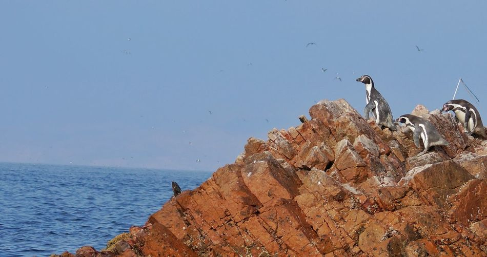 Bird perching on rock by sea against clear sky
