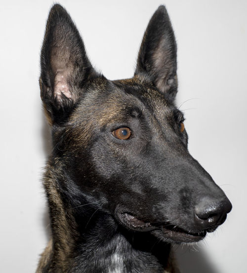 Close-up of dog looking away against white background