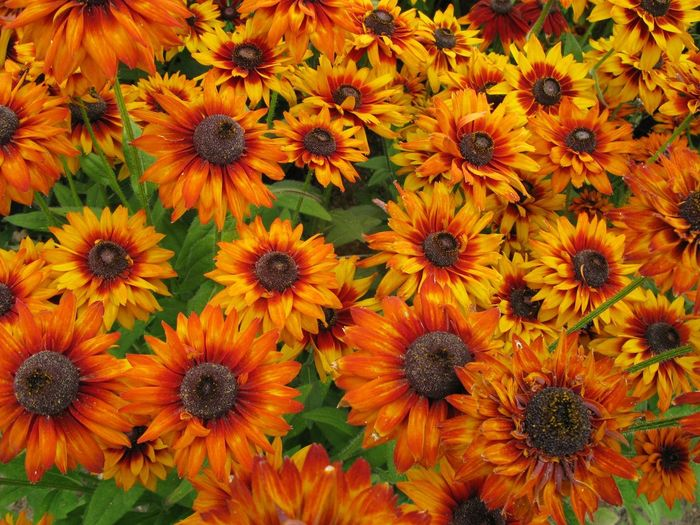 Abundance Backgrounds Beauty In Nature Blooming Blossom Field Flower Flower Head Fragility Freshness Full Frame Growth High Angle View In Bloom Nature Orange Color Petal Plant Pollen R.tullis Yellow