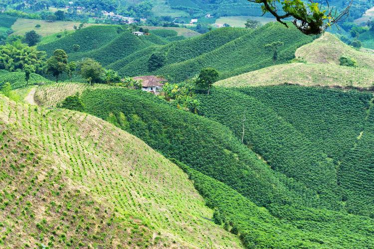 Scenic view of coffee farm