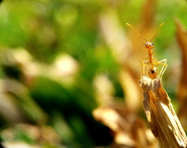 Red ant Insect Focus On Foreground Macrophonegraphy