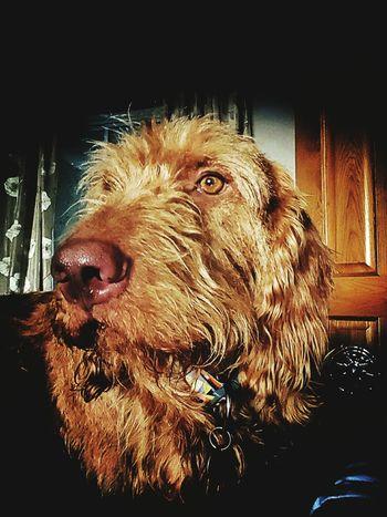 Romeo. Romeothevizsla Cheese! Vizslaoftheday Dogslife Hungarian Vizsla Dogsofinstagram Velcro ❤ That's Me