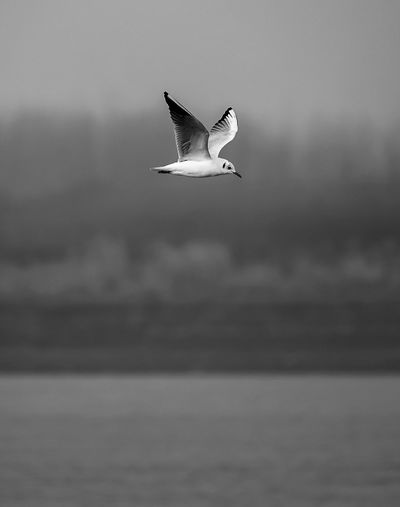 A seagull in search of the water Bird Animal Themes Animals In The Wild One Animal Flying Spread Wings Animal Wildlife Nature Outdoors Water Day No People Sea Black-headed Gull Sky