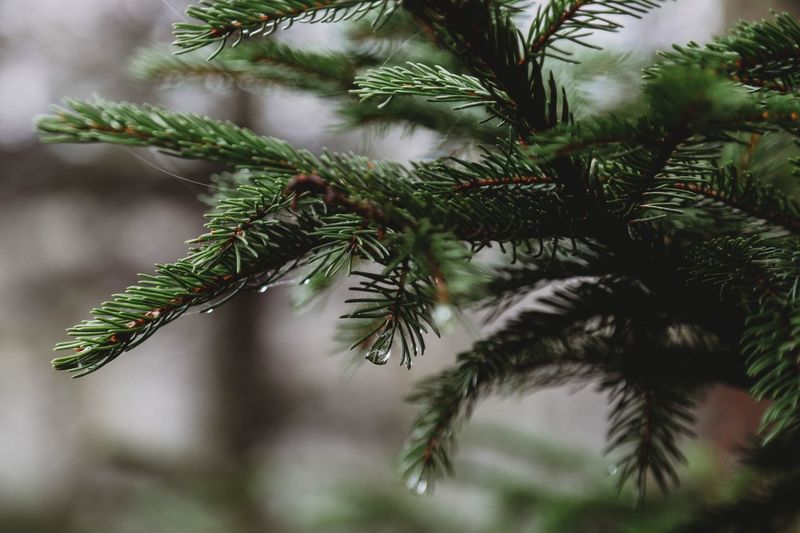 There is no magic in magic, it's all in the details. -Walt Disney Plant Tree Green Color Focus On Foreground Growth Pine Tree Close-up Leaf christmas tree Christmas Holiday Needle - Plant Part Outdoors Pinaceae Coniferous Tree Nature Branch Beauty In Nature Day No People