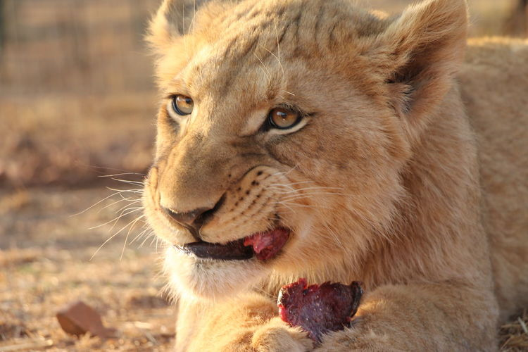 Close-up of cub eating flesh on field