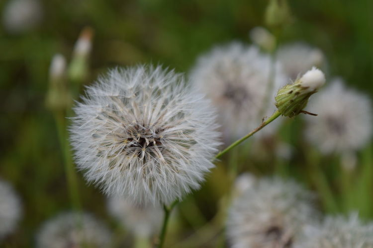 Beauty In Nature Close-up Dandelion Flower Flower Head Focus On Foreground Fragility Plant Selective Focus Stem White Color Montgomery, Al. Alabama Outdoors