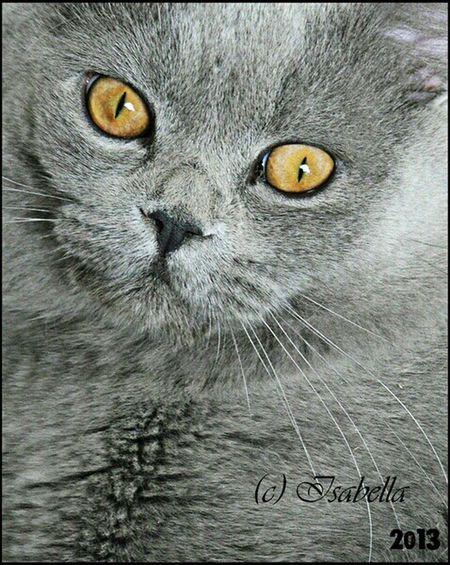 кот британец страйт голубой портрет Леопольд