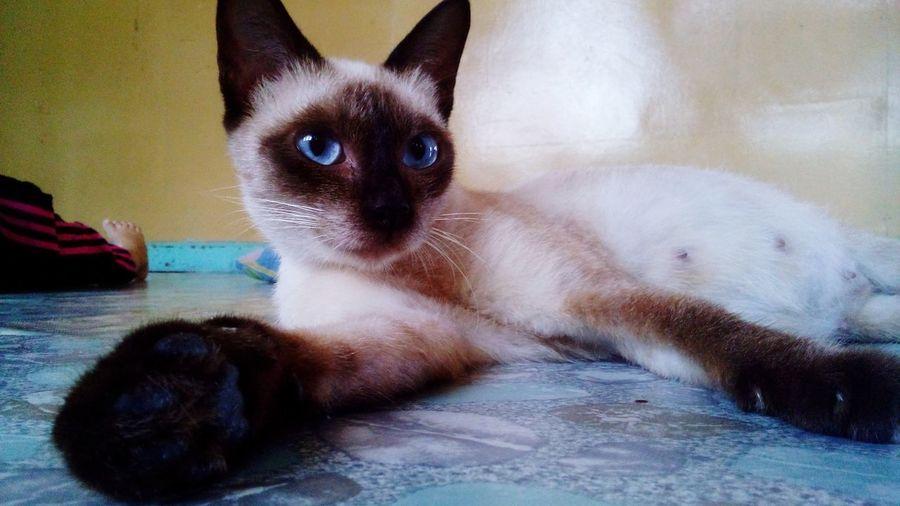 Catlover Pet Photography  Pet Photograph Pet Love Catlover ♡ Blue Eyes