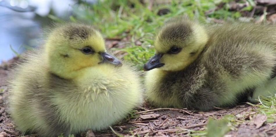 Goslings Young Animal Young Bird Group Of Animals Animal Themes Animal Bird Vertebrate