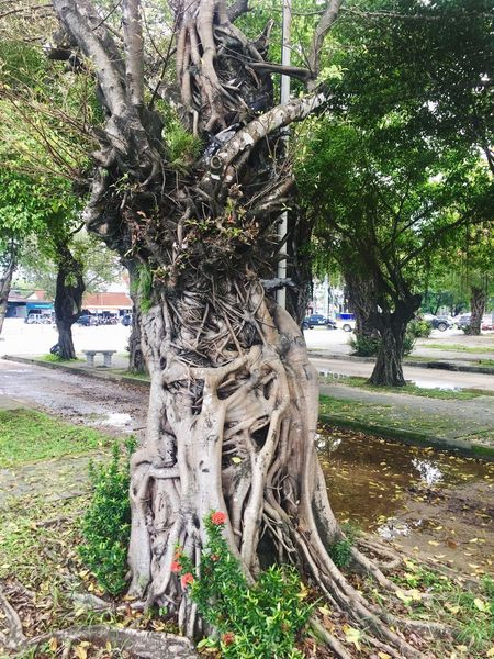 Tree Tree Trunk Growth Root Nature Day Outdoors Park - Man Made Space Beauty In Nature