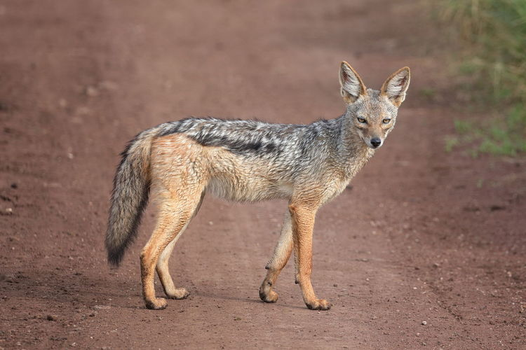 A black-backed jackal