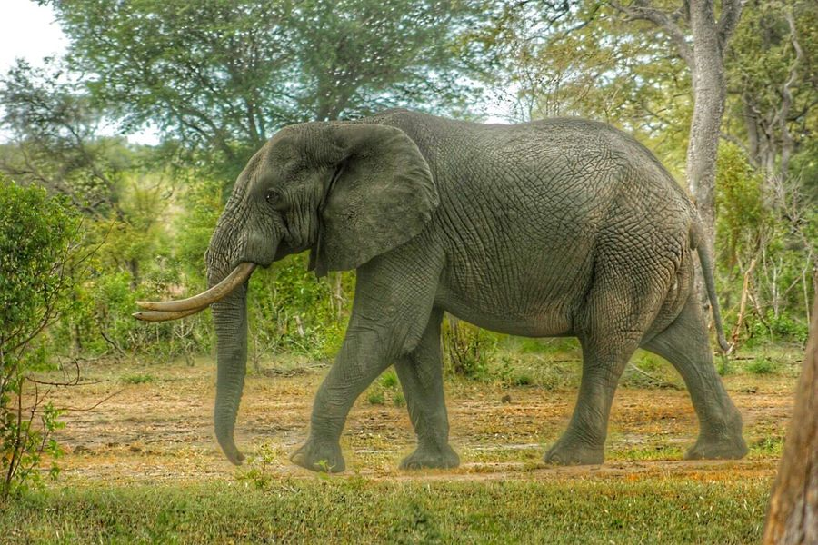 An African Elephant Africananimals Africa African Beauty Nature Photography Wildlife Africanwildlife Elephant Elephantlove Savetheelephants Worthmorealive