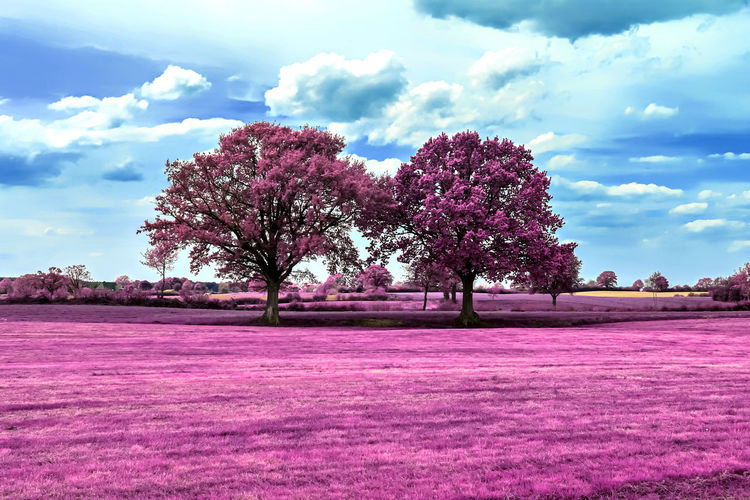 Pink flowering trees on field against sky