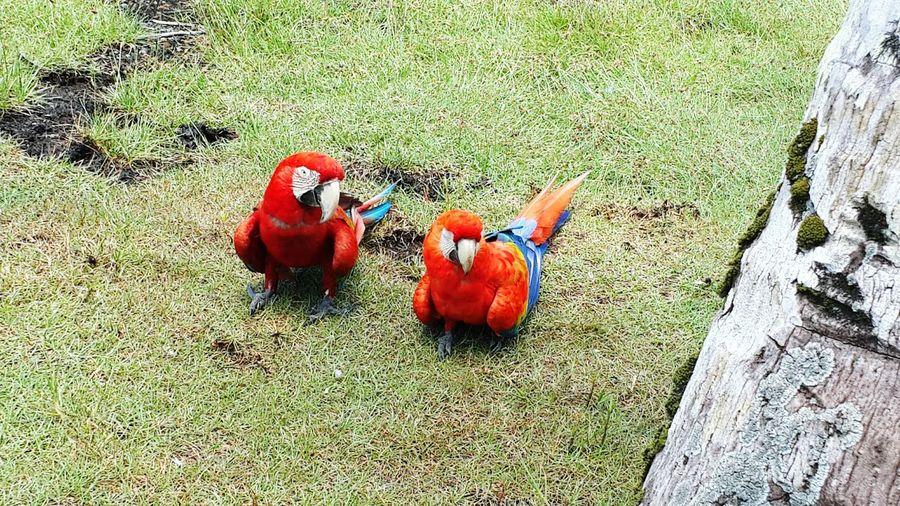 Birds Guacamaya Guacamayas Bigbird Parrots Red Colorful Panamá