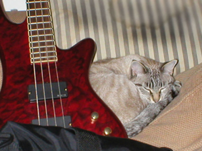 Francis Albert and The Bass Cat Lovers 🐱💞 Cat Lovers, Animals, Pets, Siamese Lynx Van Nuys, California Bass Guitar Bass Guitars Cats Cat♡ Lynx Point Siamese Lynx Siamese
