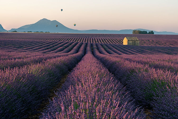 Gone with the wind... in Provence Ballons Agriculture Farm Field Flower Flowerbed Flowering Plant Land Landscape Lavender Nature No People Outdoors Plant Purple Ruin Sky Sunrise Tranquil Scene Tranquility Valensole Violet