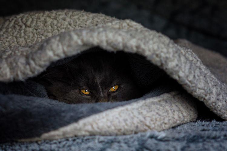 Crodile eyes Norvegianforrestcat Portrait Black Background Feline Pets Paw Close-up Animal Body Part Domestic Cat Cat Kitten Animal Eye Yellow Eyes