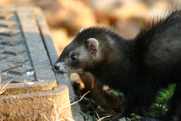 a ferrett sniffing a manhole in the park Animal Life Curious Animals Ferret Lurking Sniff Afternoon Light In France Animal Themes Autumn Winter Close-up Day Ferret Head Ferrets  Focus On Foreground Mammal No People One Animal Outdoors Park Pet Searching Warm Light