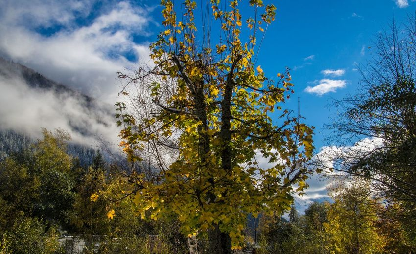 argentiere,chamonix,haute savoie,france Tree Plant Sky Beauty In Nature Cloud - Sky Nature No People Forest Tranquility Day Autumn Growth Outdoors Land Scenics - Nature Tranquil Scene Low Angle View Branch Environment WoodLand Change