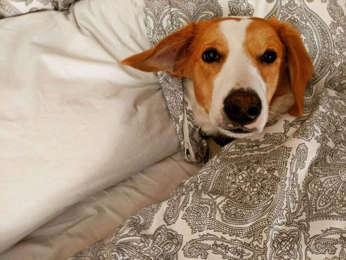 Sleeping Dog Canine Dog Dog In Bed Domestic Domestic Animals Furniture Home Interior Indoors  Looking At Camera Mammal One Animal People Pets Portrait Puppy Relaxation Vertebrate