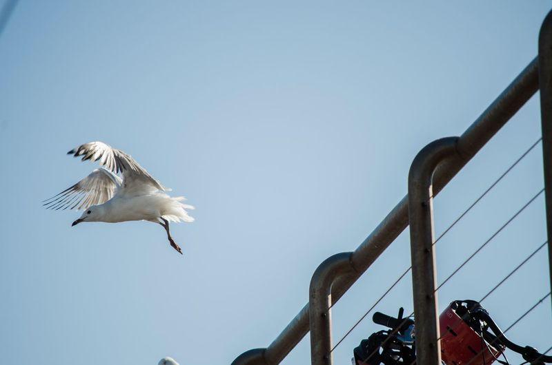 Seagull Sea Sky Bird Australia Newcastle NSW, Australia