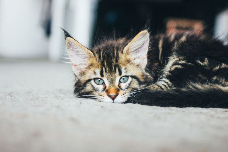 Close-up portrait of cat relaxing on floor