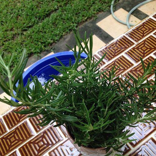 """Rosemary"" 🌿 ความสุขเล็กเล็กราคา60บาท😄 ได้มาจากอตก หอมดีจะปลูกกินได้กี่มื้อ ของเล่นหลานของกินป้า"