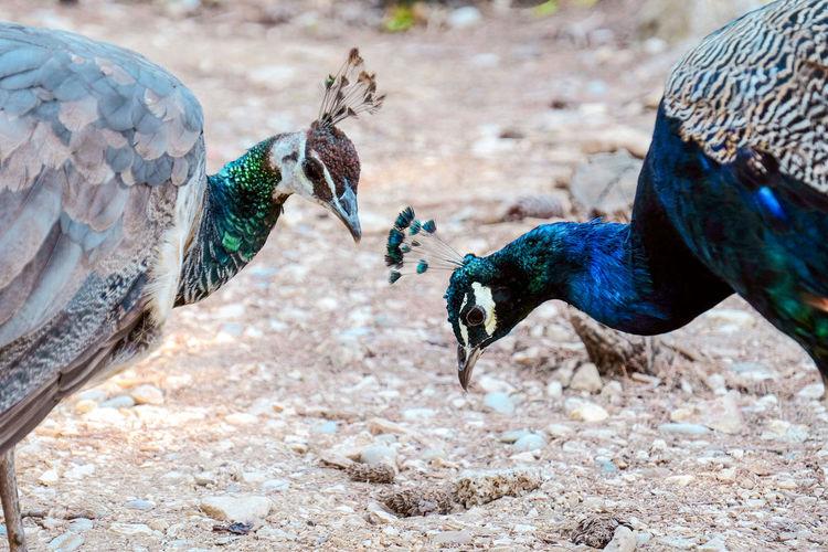 Peacock and peahen roaming near the dead sean on lokrum island, mrtvo more, dubrovnik, croatia
