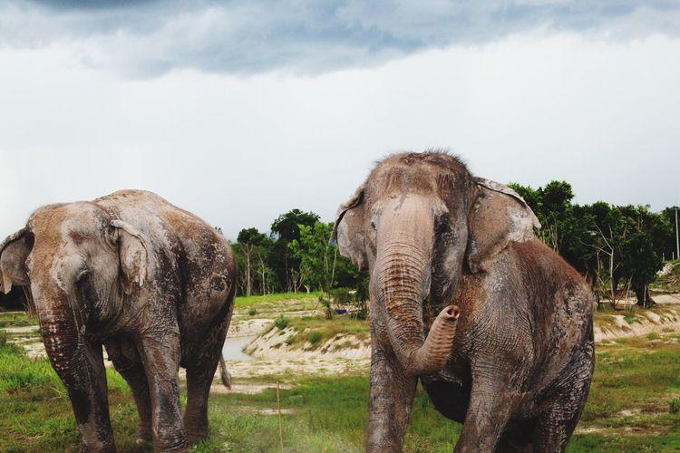 Elephants against sky