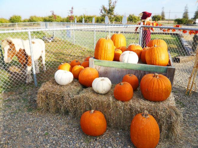 Day Halloween Jack O Lantern Nature Outdoors Pumpkin Sanfrancisco ハロウィン カボチャ サンフランシスコ 2006
