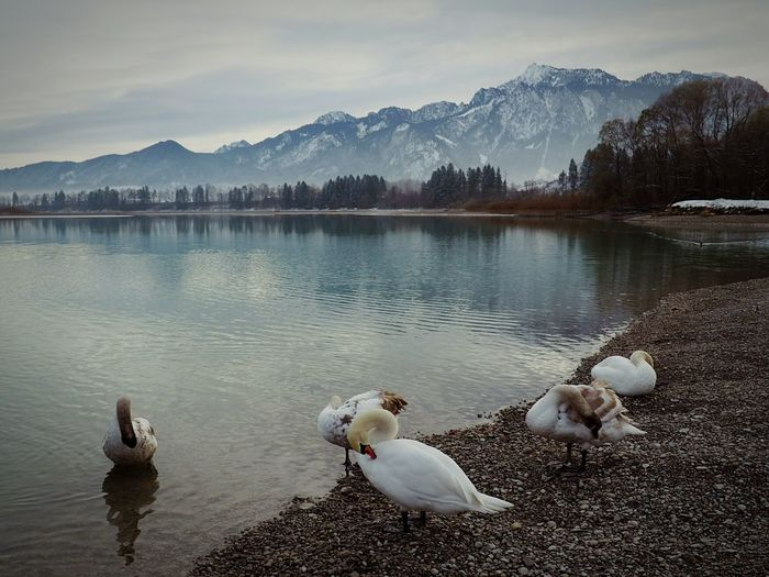 Swans on lake by mountains against sky