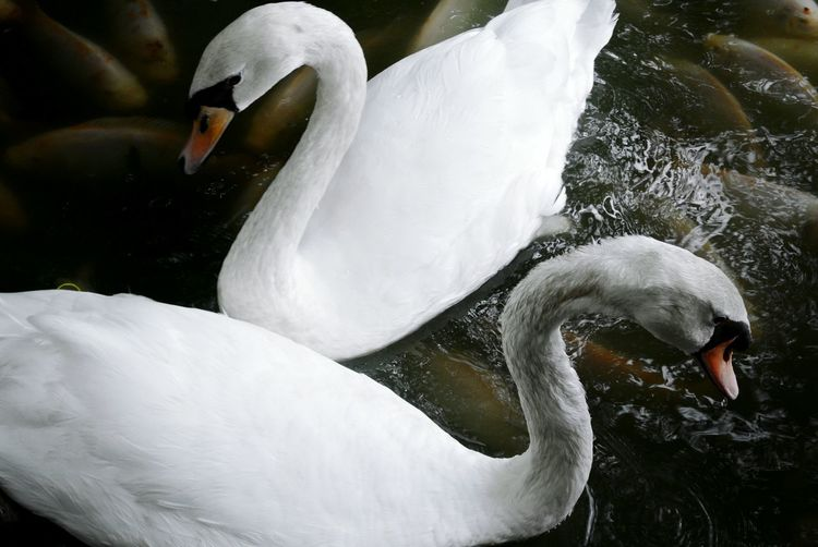 White geese in pond