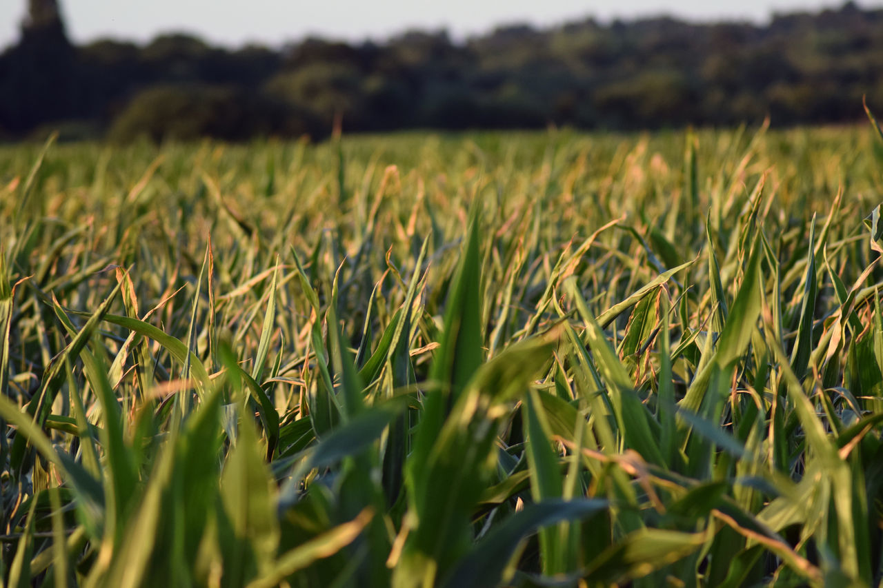 growth, plant, field, agriculture, crop, rural scene, land, landscape, beauty in nature, tranquility, green color, farm, cereal plant, no people, nature, scenics - nature, selective focus, tranquil scene, day, close-up, outdoors, plantation, stalk