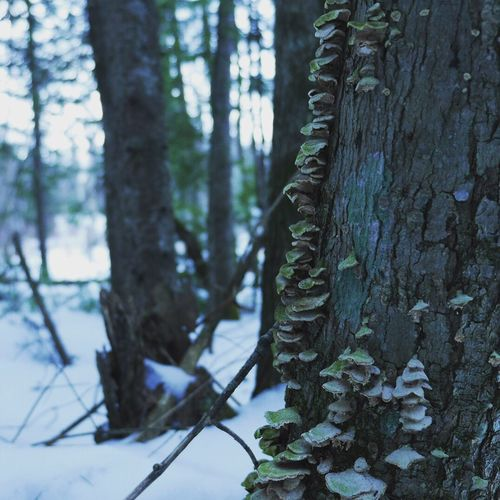 Tree Tree Trunk Nature Forest Beauty In Nature Growth WoodLand Day Outdoors Winter No People Wood - Material Scenics Tranquil Scene Snow Landscape Cold Temperature Birch Tree Close-up