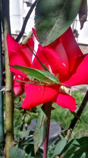 My Garden Flowers Nature Roses
