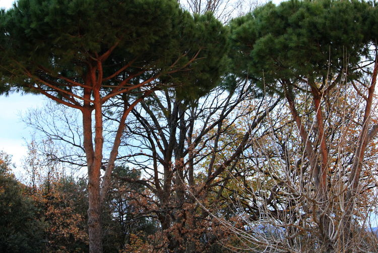 January 2017 Maritime Pines Tuscany Beauty In Nature Branch Castagneto Carducci Day Growth Italy Nature No People Outdoors Plant Sky