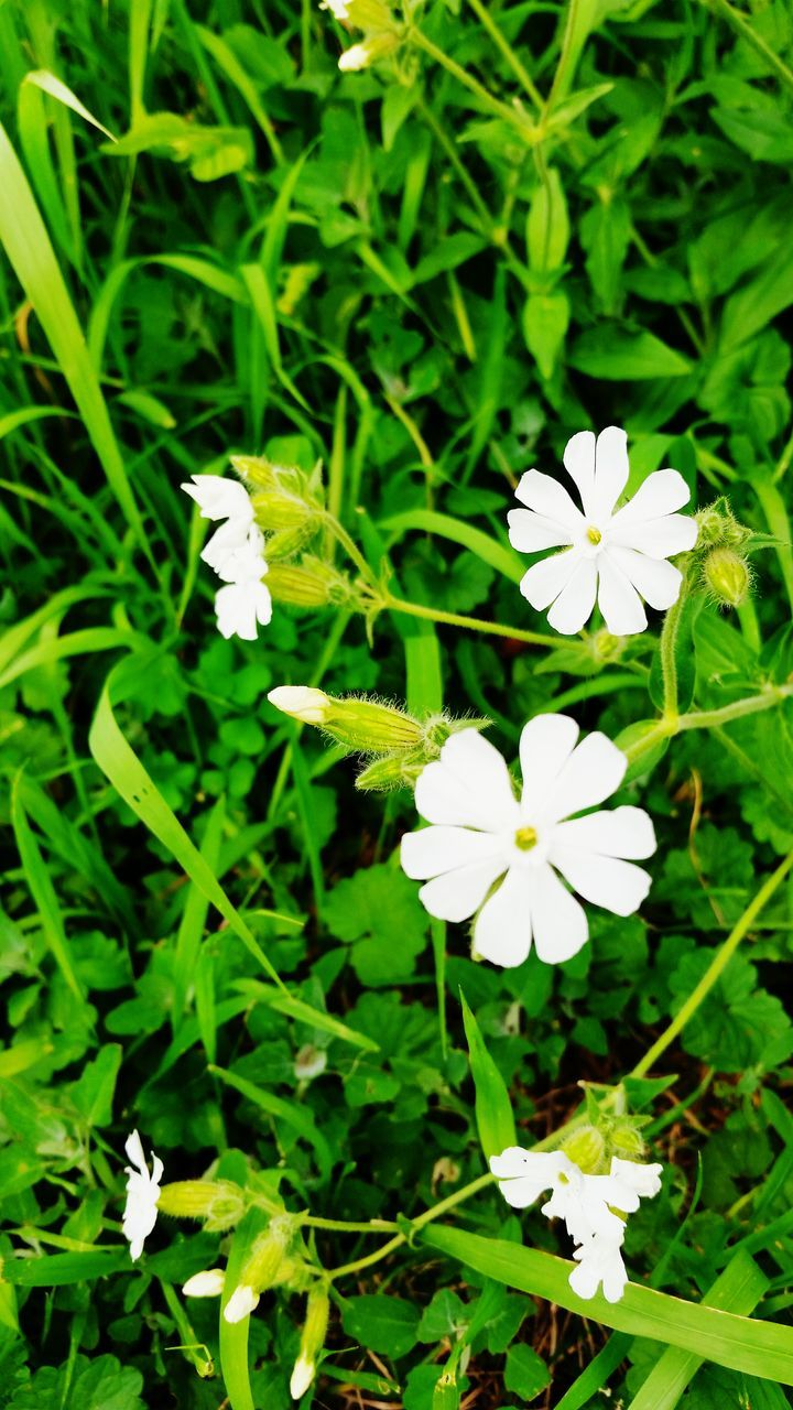 flower, white color, petal, growth, freshness, beauty in nature, nature, fragility, flower head, blooming, plant, day, high angle view, green color, outdoors, no people, close-up, periwinkle